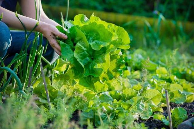 Ingin Tanam Sayuran Organik Di Rumah? Begini Cara Mudahnya!